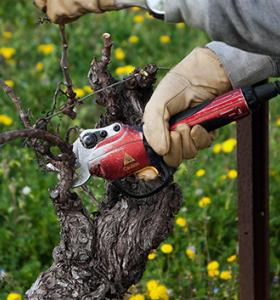 Vine pruning : give preference to the end of winter