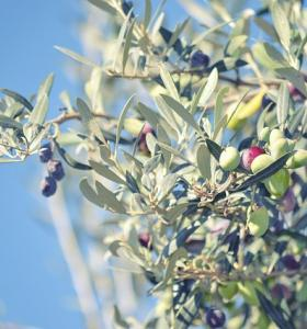 Turning Olive Tree Branches Into Biofuel For Clean Energy